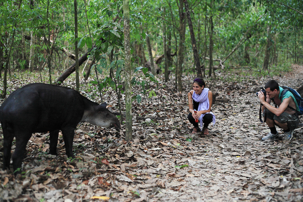 Tourists watching a Bairds Tapir (Tapirus bairdii) feeding in rainforest. Corcovado National Park, Osa Peninsula, Costa Rica. <br /> <br /> For pricing click on ADD TO CART (above). We accept payments via PayPal.