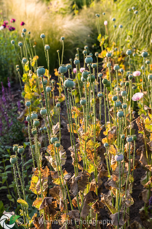 Poppy seed heads in July evening sunlight at Bleuebell Cottage Gardens, Cheshire