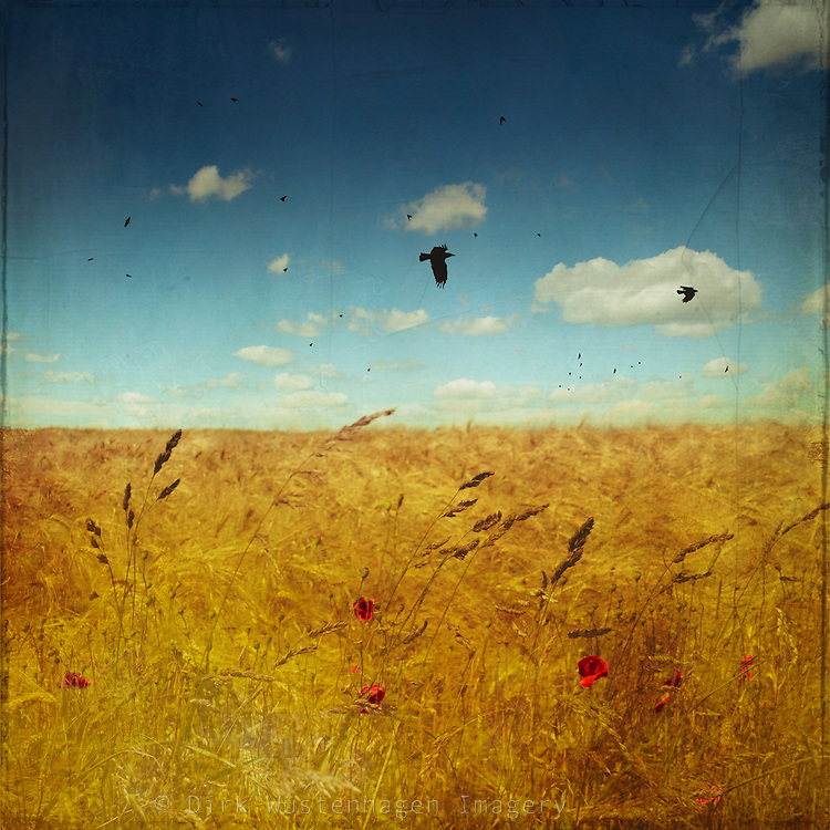 Field of barley on a summer day - painterly processing with textures and bird brushes<br />