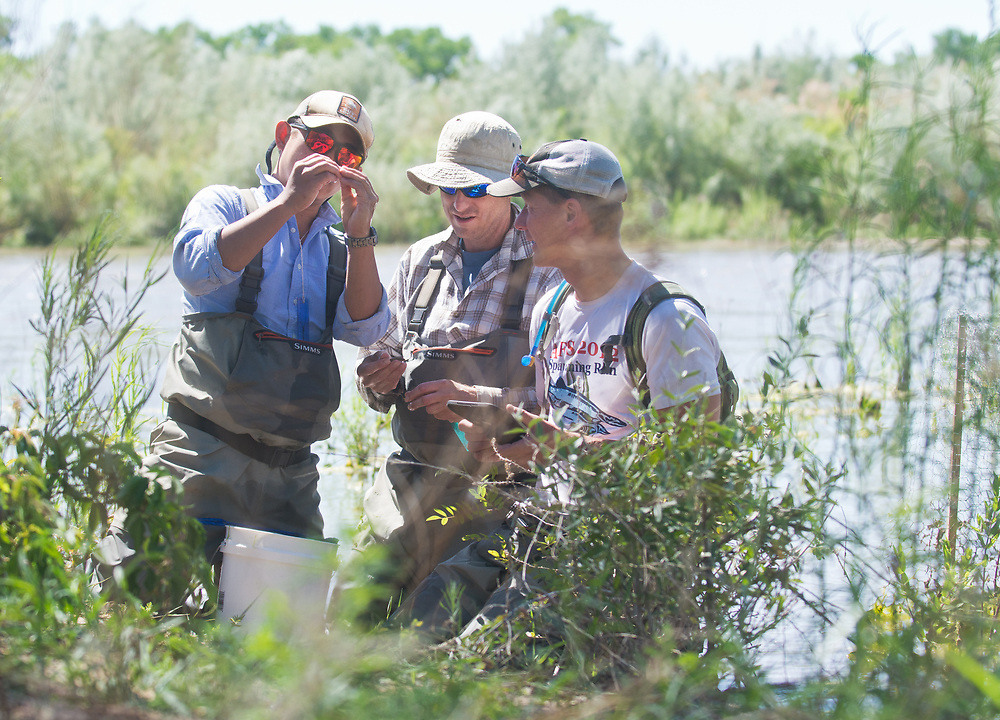 mkb061417i/metro/Marla Brose --  Steve Zipper, left, looks closely at a silvery minnow, while counting silvery minnow and other fish with Matt McMillan, center, and Jason Kline, right, all biologists with SWCA,  in an area where the Rio Grande is overbanking near Paseo Del Norte in Albuquerque, N.M., Tuesday, June 13, 2017.  The biologists measured them, determined their sex and photographed them. The total count for three nets in the area was 46 silvery minnows. (Marla Brose/Albuquerque Journal)