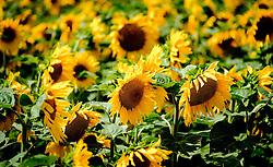Sunflowers growing in the Pays de la Loire, France<br /> <br /> (c) Andrew Wilson   Edinburgh Elite media
