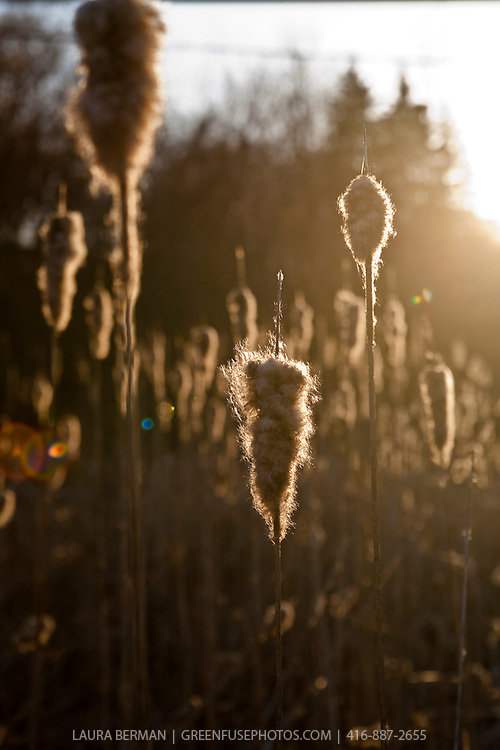 Wetland (swamp, bog, swale, marsh): cat tails or bullrushes  in the sun.