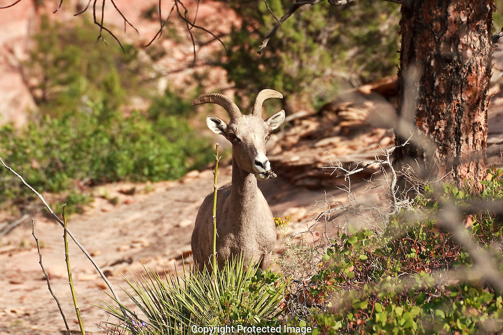 The Yucca and Agave flowers are a favorite food source for the Desert Bighorn Sheep in Zion National Park.