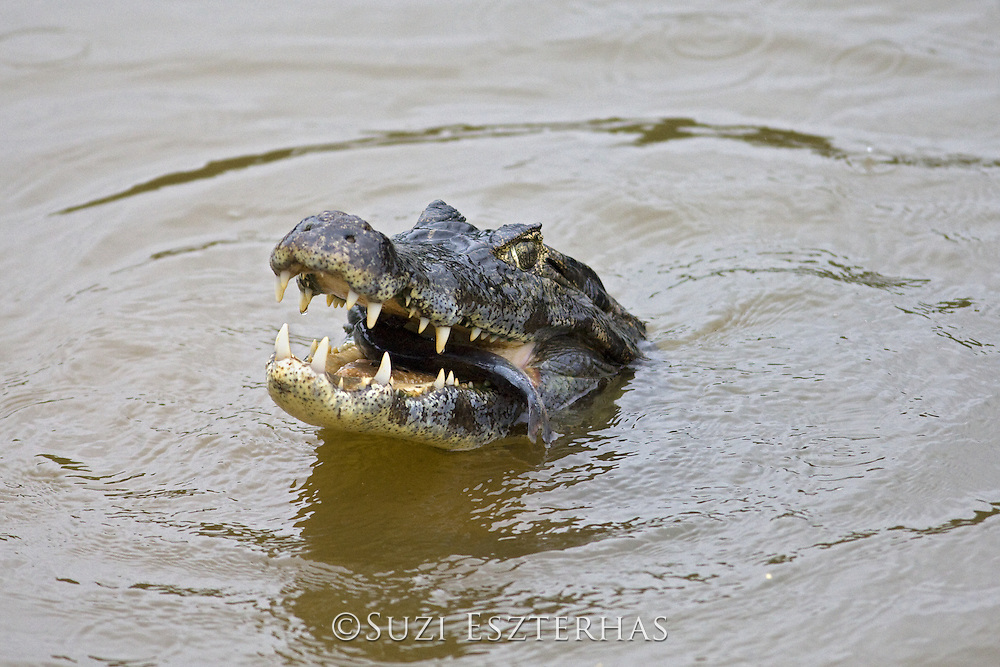 Spectacled Caiman<br /> Caiman crocodilus<br /> Eating fish<br /> Pantanal, Brazil