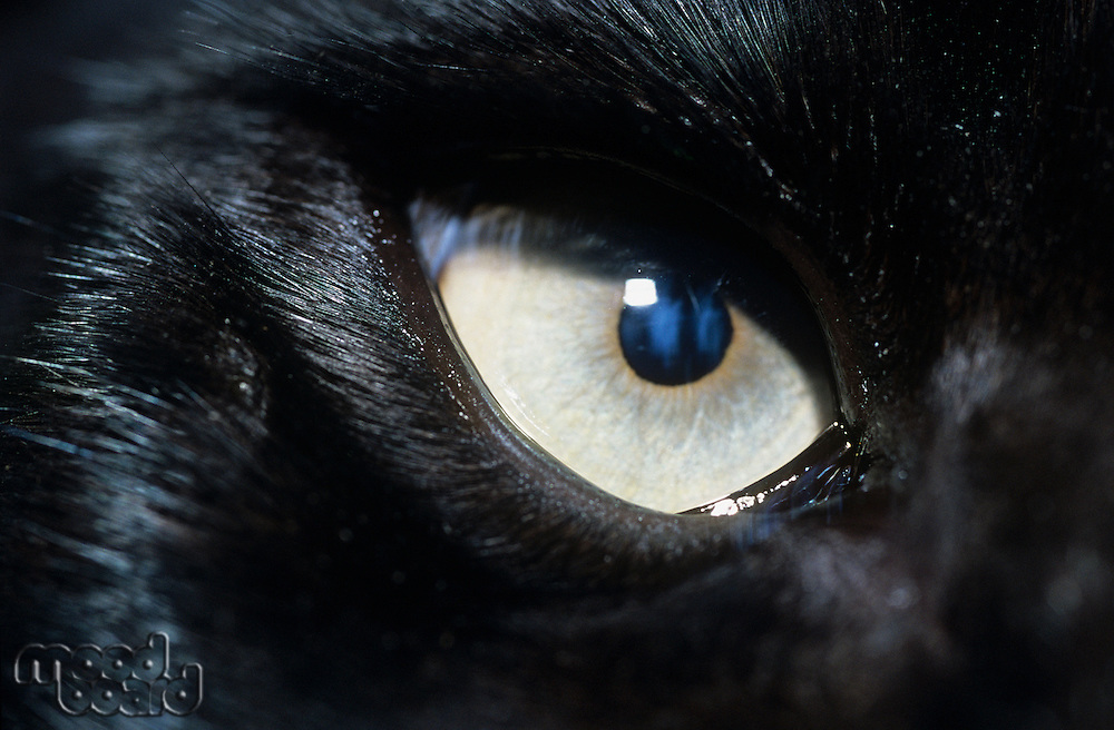 Eye of black wolf close-up