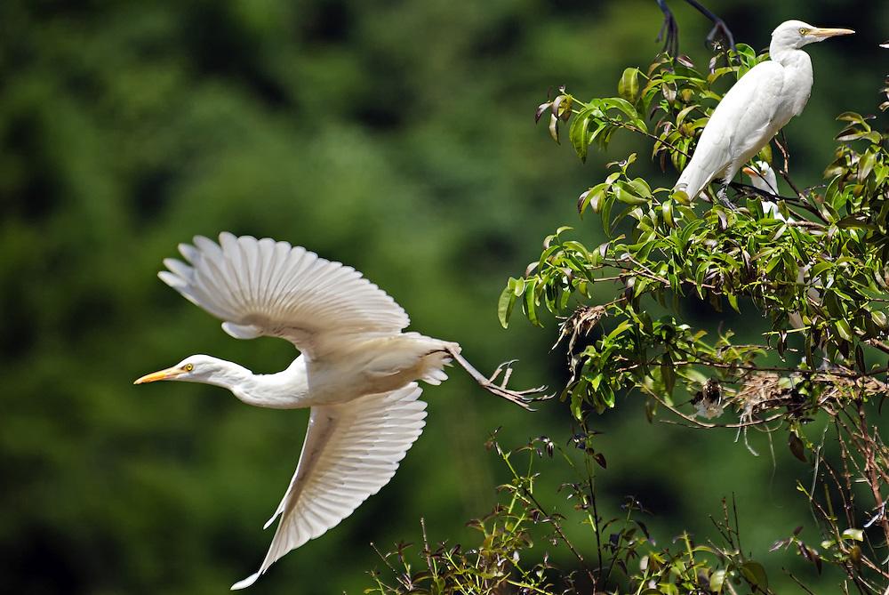 Egrets on the Nam Khan river near Luang Prabang, Laos.