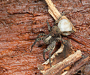 Wolf Spider; NY, near Bear Mt., Orange Co.