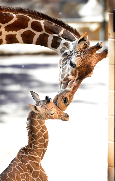 apl061317a/ASECTION /pierre-louis/JOURNAL 061317<br /> June , a 23 year-old giraffe licks her 1 day-old baby giraffe inside their enclosure at the Rio Grande Bio Park  .Photographed  on Tuesday June  13,  2017. .Adolphe Pierre-Louis/JOURNAL