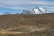 A large gathering of Guanaco in Torres del Paine National Park, Chile.