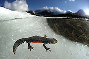 Male alpine newt (Ichthyosaura alpestris, formerly Triturus alpestris) in meltwater. High Tauern National Park, Austria. | Alpenmolch-Männchen (Ichthyosaura alpestris) in einem kleinen Tümpel, der durch Schmelzwasser von einer Schneefläche entstanden ist. Nationalpark Hohe Tauern, Österreich.