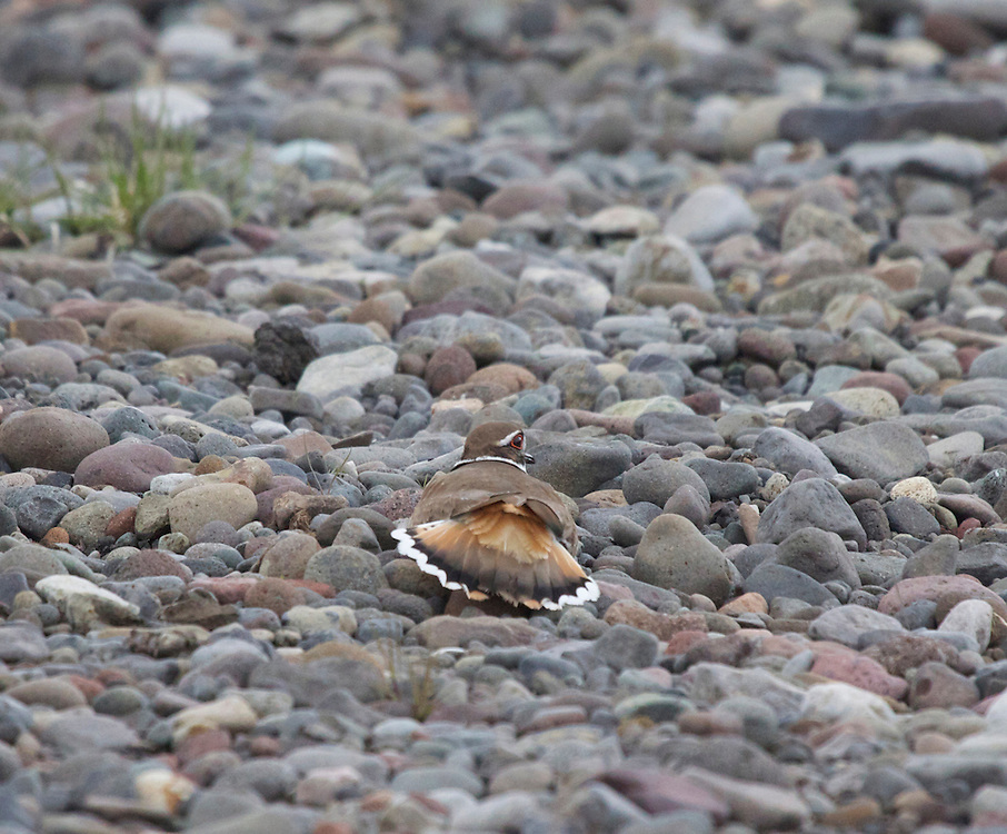 A Killdeer and cobblestone. Lamar River, Yellowstone National Park.