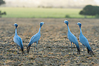 Blue Cranes standing and calling from the middle of a ploghed field, Overberg, Western Cape, South Africa