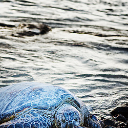 A camouflaged sea turtle rests on the ocean's shore at the Waikoloa Resort, Kohala Coast, Hawaii.