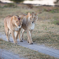 Pair of female lions afrer hunting