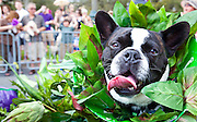 Krewe of Barkus parade for dogs and their owners; Mardi Gras 2011