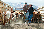 PRICE CHAMBERS / NEWS&amp;GUIDE<br /> Cody Lockhart and Thomas Watsabaugh seperate calves for an inspection on Tuesday at the Lockhart Cattle Company.