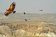 vultures soaring, sede boker desert, israel