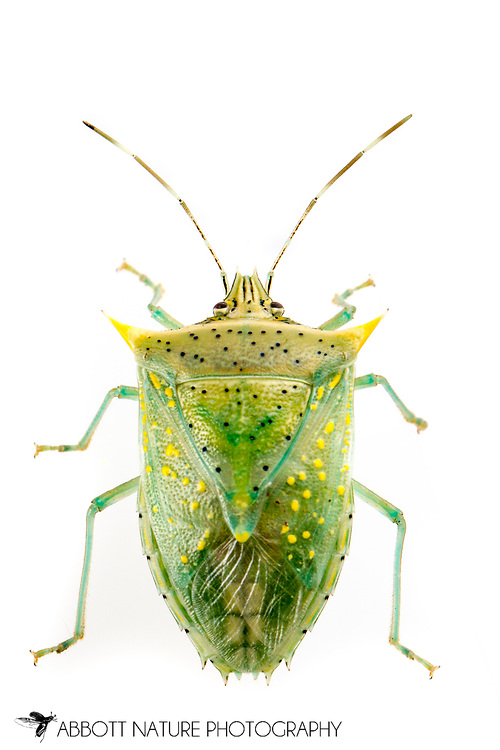 Tomato Stink Bug (Arvelius albopunctatus)<br /> TEXAS: Hidalgo Co.<br /> Old Hidalgo Pumphouse; Hidalgo<br /> 8-Nov-2014<br /> J.C. Abbott &amp; K.K. Abbott