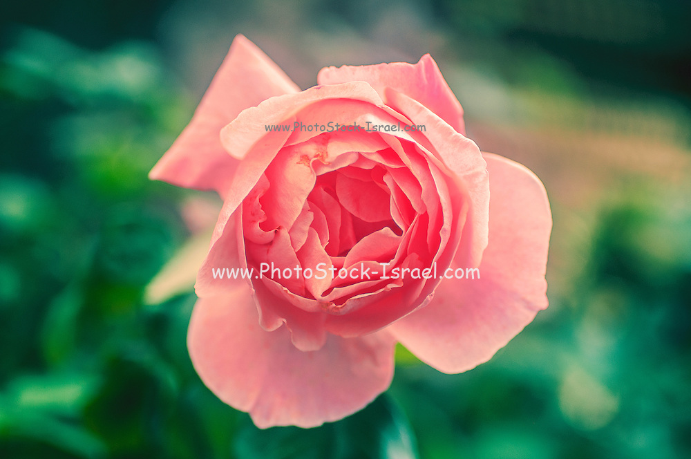 Pink English rose as seen from above with a lush green background