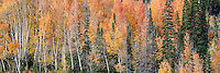 Golden orange aspens mix in with the pines atop Utah's Little Cottonwood Canyon in early Fall.