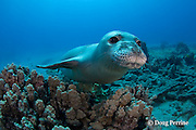Hawaiian monk seal, Monachus schauinslandi, yearling female ( critically endangered species ), Mahukona, Kohala, Hawaii Island ( the Big Island ) Hawaiian Islands, USA ( Central Pacific Ocean )