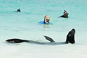 """Galápagos Sea Lions (Zalophus wollebaeki) bask near snorkelers on the sandy beach of Gardner Bay, a wet landing location on Española (Hood) Island, Galapagos Islands, Ecuador, South America. This mammal in the Otariidae family breeds exclusively on the Galápagos Islands and in smaller numbers on Isla de la Plata, Ecuador. Being fairly social, and one of the most numerous species in the Galápagos archipelago, they are often spotted sun-bathing on sandy shores or rock groups or gliding gracefully through the surf. They have a loud """"bark"""", playful nature, and graceful agility in water. Slightly smaller than their Californian relatives, Galápagos Sea Lions range from 150 to 250 cm in length and weigh between 50 to 400 kg, with the males averaging larger than females. Sea lions have external ear-like pinnae flaps which distinguish them from their close relative with whom they are often confused, the seal. When wet, sea lions are a shade of dark brown, but once dry, their color varies greatly. The females tend to be a lighter shade than the males and the pups a chestnut brown. In 1959, Ecuador declared 97% of the land area of the Galápagos Islands to be Galápagos National Park, which UNESCO registered as a World Heritage Site in 1978. Ecuador created the Galápagos Marine Reserve in 1998, which UNESCO appended in 2001."""