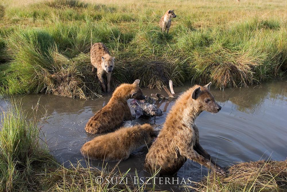 Spotted Hyena<br /> Crocuta crocuta<br /> At hippo kill<br /> Maasai Mara Reserve, Kenya