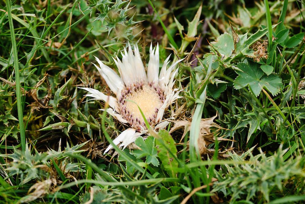Zilverdistel, Carlina acaulis ssp.
