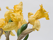 Close up of dying daffodils.