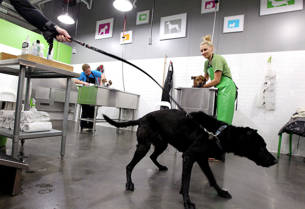 Black Labrador Harley gets his bearings after a thorough bathing by his owners in the self-serve dog wash area at Ollu Dog Salon in Minneapolis November 14, 2012.