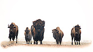 In his prime, it is a buffalo bull that takes a commanding presence in the center of this group. He and his herd become a symbol of the strength and perseverance of the American buffalo.