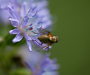 Turt, (Cicerbita alpina), en plante i korgplantefamilien. Vokser ofte i fjellbjørkeskogen. Alpine Blue-sow-thistle.