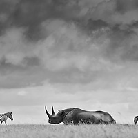 Critically Endangered black rhino and zebra in Laikipia, Kenya. Winner, Sony Art of Expression 2012 One World Category.