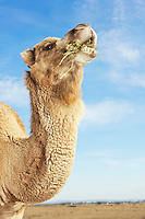 Camel in field eating side view of neck and head