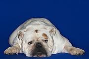 Bulldog lying down front view