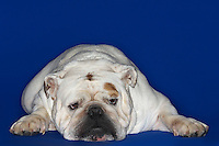 Bulldog lying down front view