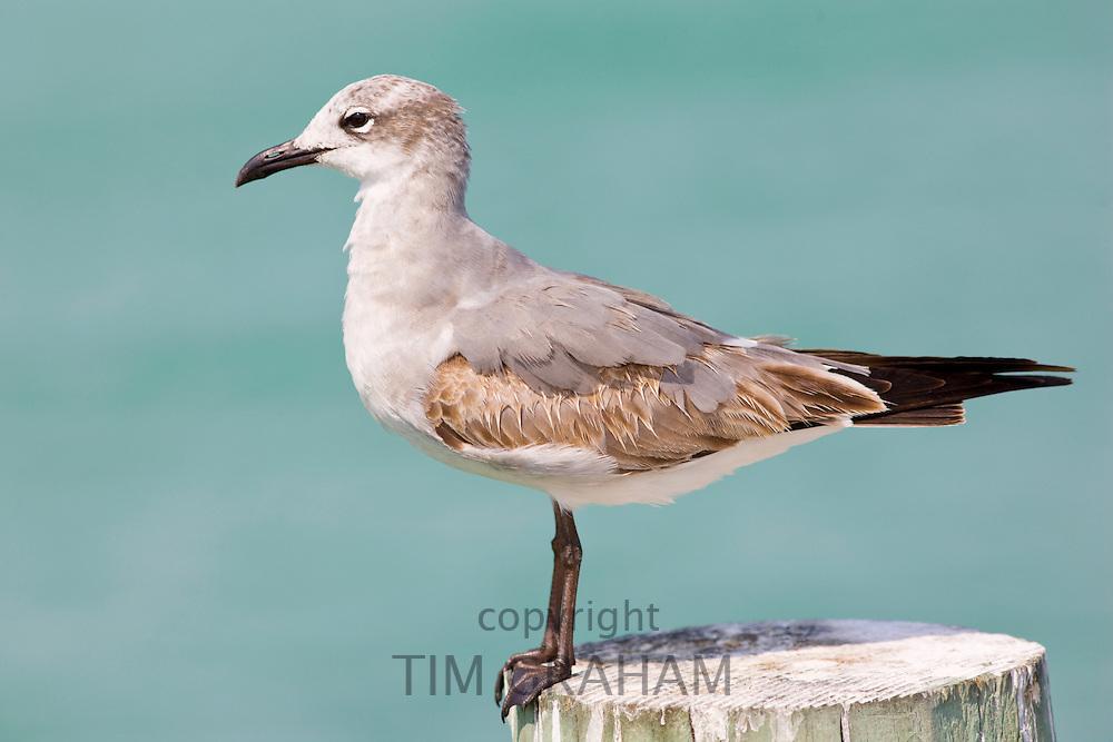 Juvenile Laughing gull, Larus atricilla, on shoreline at Anna Maria Island, Florida, USA