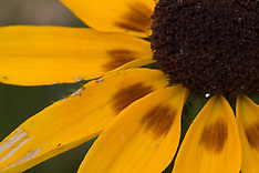 Black-Eyed Susan & Daisy Royalty Free Stock Images