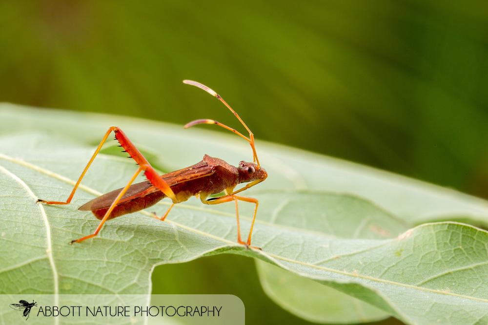 Lupine Bug (Megalotomus quinquespinosus)<br /> United States: Alabama: Tuscaloosa Co.<br /> Tulip Tree Springs off Echola Rd.; Elrod<br /> 3-Jul-2016<br /> J.C. Abbott #2843 &amp; K.K. Abbott
