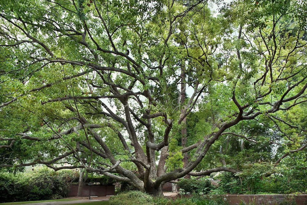 Cinnamomum camphora (Camphor tree) next door to the Marston House Museum and Garden, Balboa Park.