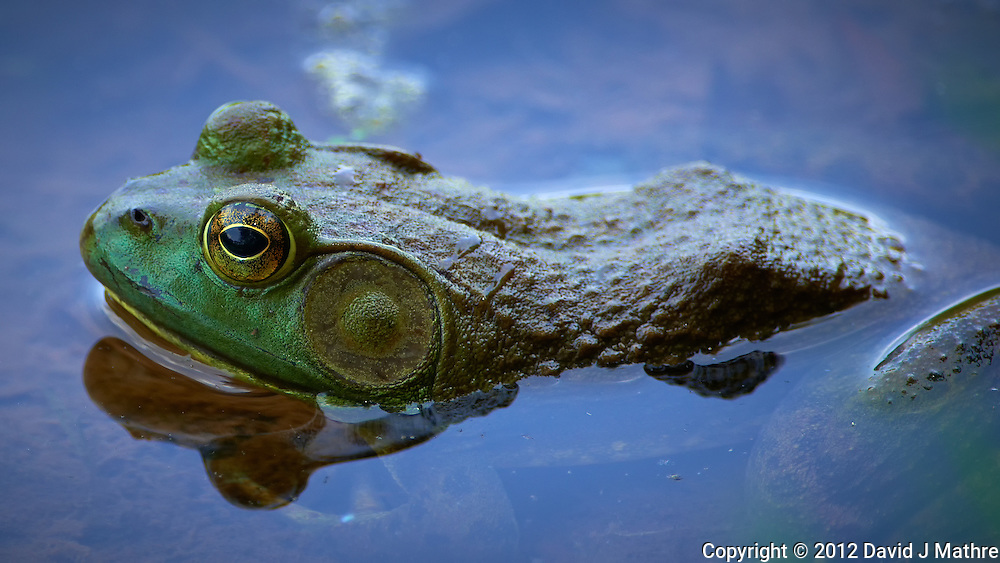 Kermit the Bull Frog in a Pond in the Sourland Mountain Preserve in New Jersey. Image taken with a Nikon D800 and 300 mm f/2.8G VR lens + TC-E III 20 Teleconverter (ISO 360, 600 mm, f/5.6, 1/320 sec).