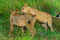 Female lions, Kwara Camp, Okavango Delta, Botswana.