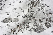 Bird and human tracks left in freshly-fallen snow in a South London Park.