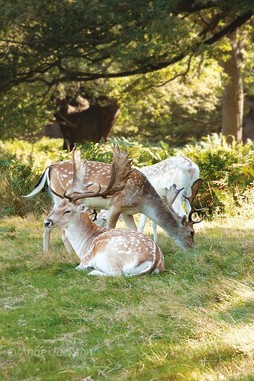 Regent's Park deer