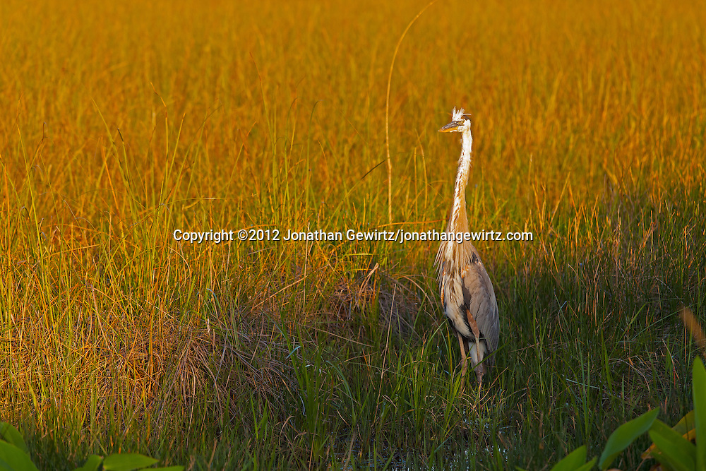 A Great Blue Heron (Ardea herodias) stands in late-afternoon light in sawgrass prairie in the Shark Valley section of Everglades National Park, Florida. WATERMARKS WILL NOT APPEAR ON PRINTS OR LICENSED IMAGES.