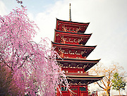 A japanese five storied pagoda located in Hirosaki northern Japan. It is spring time and surrounded with beautiful weeping cherry blossoms.