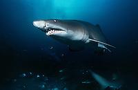 Sand tiger shark (carcharias taurus) underwater view