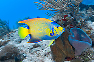 Queen angelfish - Poisson ange royal (Holacanthus ciliaris), Cozumel, Yucatan peninsula, Mexico.