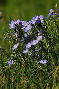 Blue flax blooms in full sun.