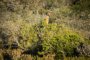 A giraffe holds her head high above the thick bush at a game reserve near Oudtshoorn in South Africa.